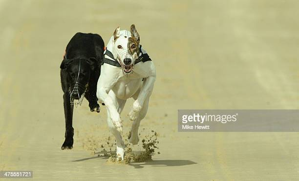 Rose's Risk wins the eleventh race from Release The Ace at the Coral Brighton and Hove Greyhound stadium on February 28 2014 in Brighton England