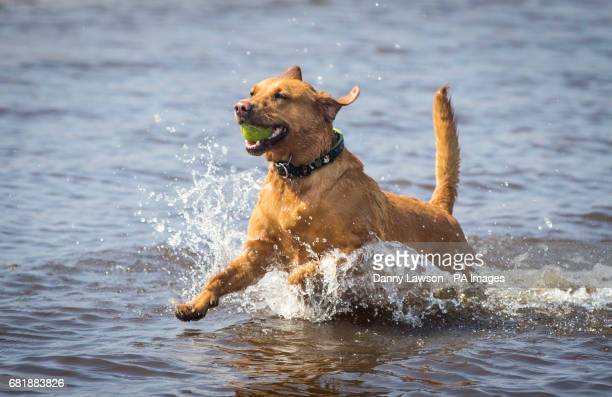 Rosie the dog enjoys a swim in the Cupwith Reservoir in Yorkshire