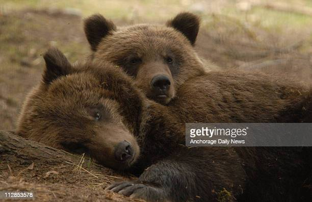 Rosie the grizzly bear cub rests her head on her brother Rover, September 1, 2008 at the Alaska Zoo. Rosie was captured the night before on the...