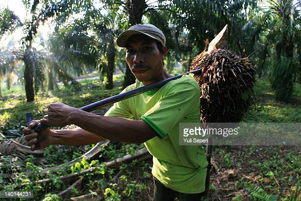 Rosman Farmer carries fruit on the oil palm plantations on February 28, 2012 in Bintan Island, Indonesia. Indonesian palm oil producers have been hit...