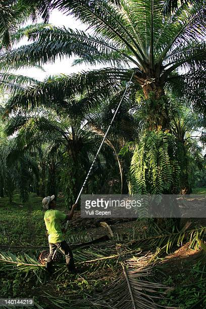 Rosman Farmer trims branches on the oil palm plantations on February 28, 2012 in Bintan Island, Indonesia. Indonesian palm oil producers have been...