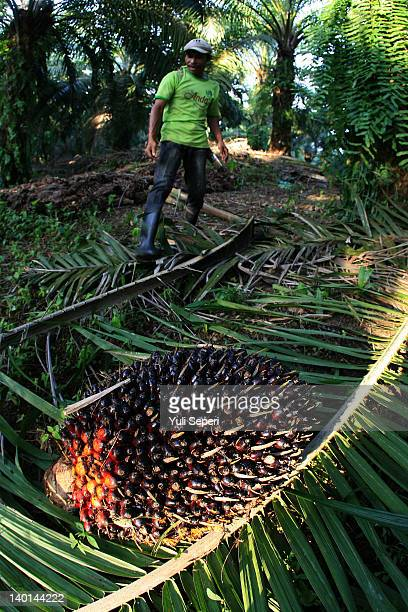 "Rosman Farmer was cutting the fruit of oil palm by using a knife, locally called an ""Ancak"" on the oil palm plantations on February 28, 2012 in..."