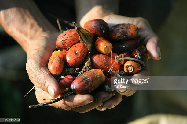 Rosman show palm fruits on the oil palm plantations on February 28, 2012 in Bintan Island, Indonesia. Indonesian palm oil producers have been hit by...