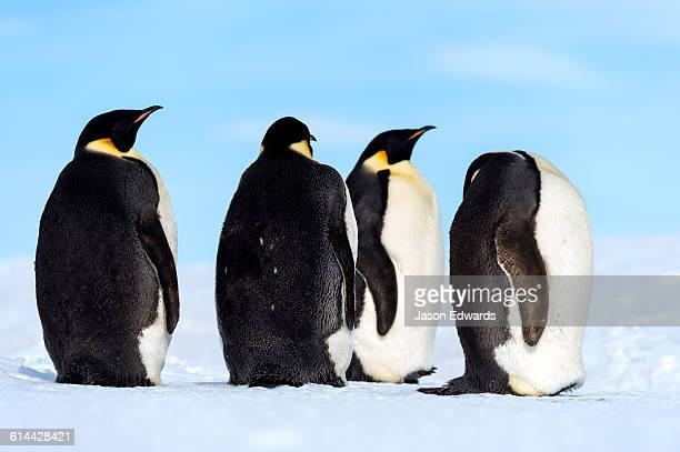 emperor penguins on the vast frozen plain of the ross ice shelf. - ross ice shelf stock photos and pictures