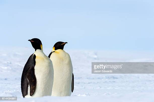 a pair of emperor penguins on the vast frozen plain of the ross ice shelf. - ross ice shelf stock photos and pictures
