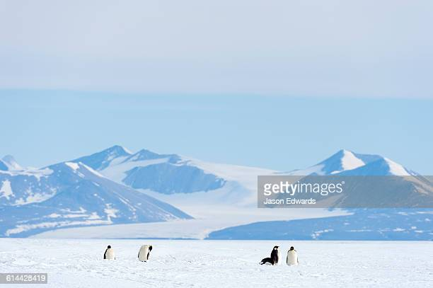 emperor penguins dwarfed on the vast frozen plain of the ross ice shelf. - ross ice shelf stock photos and pictures