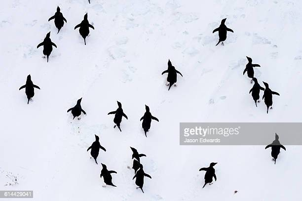 Adelie Penguins moving in formation along the sea ice edge in Antarctica.