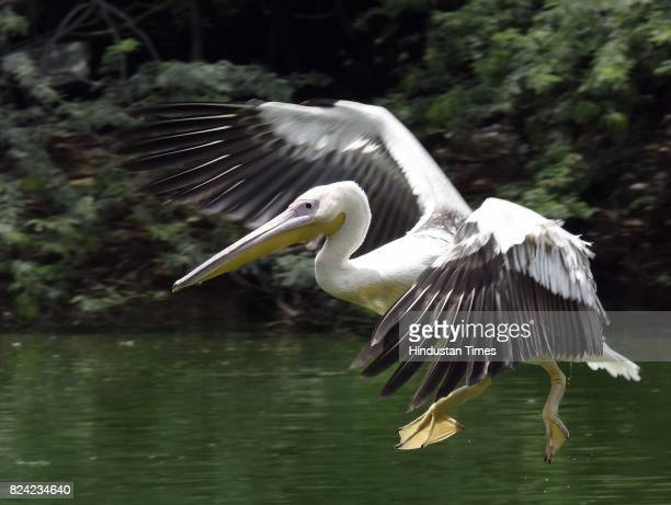 Rosy Pelican at Delhi Zoo on July 29 2017 in New Delhi India Global Tiger Day often called International Tiger Day is an annual celebration to raise...