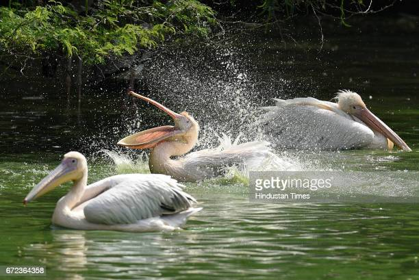 Rosy Pelicans cools off at Zoological Park on a hot summer day on April 24 2017 in New Delhi India