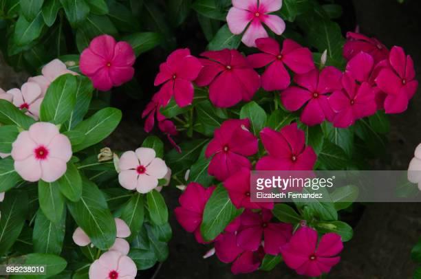 Rosy periwinkle flower (Catharanthus roseus)