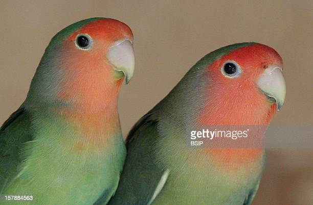 RosyFaced Lovebird RosyFaced Lovebirds Picardy France
