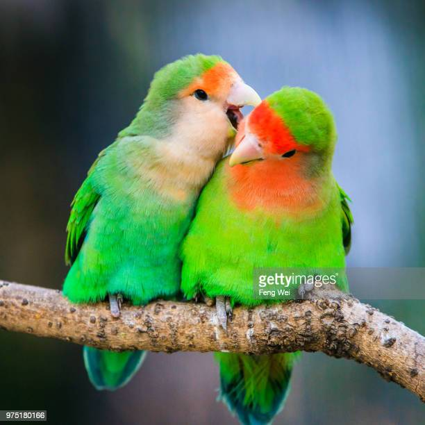 rosy-faced lovebirds (agapornis roseicollis) - tropical bird stock pictures, royalty-free photos & images