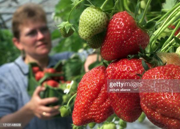 Rot leuchten die ersten Erdbeeren die Gisela Bäcker am 1051999 gut drei Wochen vor dem Beginn der normalen Erntezeit in einem ihrer Gewächshäuser in...