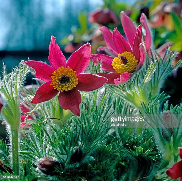 Rote Kuhschellen auch Kuechenschellen der Sorte Rote Glocke bluehen als Fruehlingsboten im Steingarten