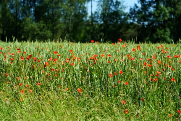 Rote Mohnblumen im Getreidefeld am Waldrand mit Himmel