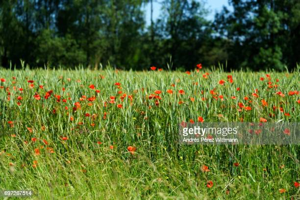 rote mohnblumen im getreidefeld am waldrand mit himmel - wald stock pictures, royalty-free photos & images