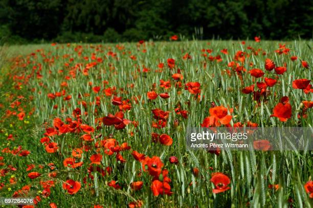 rote mohnblumen im getreidefeld am waldrand - weizen stock pictures, royalty-free photos & images