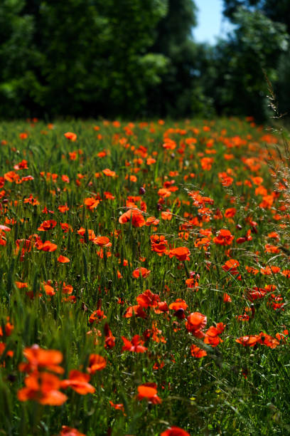 Rote Mohnblumen im Getreidefeld am Waldrand