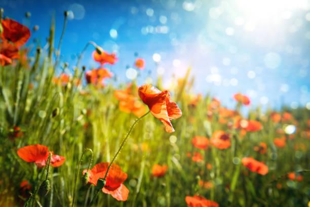 Rote Mohnblumen im Getreidefeld im Gegenlicht und Lens Flares