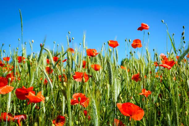 Rote Mohnblumen im Getreidefeld, stahlend blauer Himmel