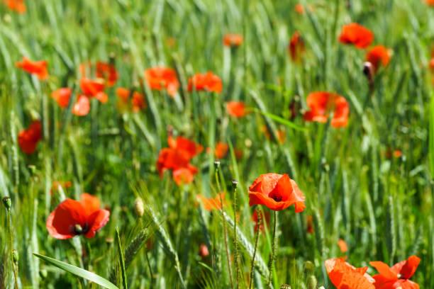 Rote Mohnblumen im grünen Getreidefeld, Gerste