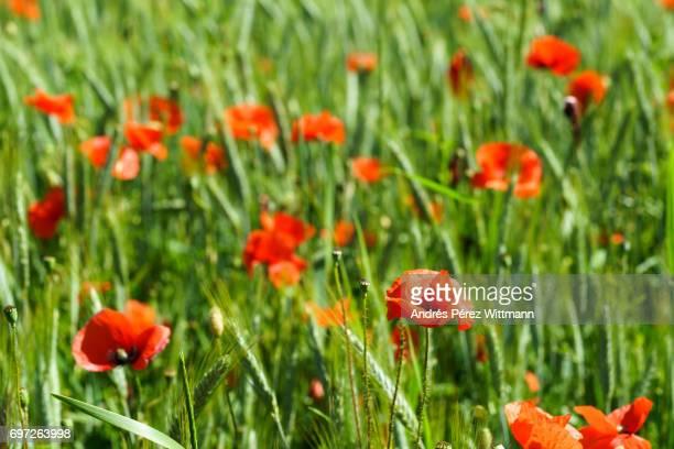 rote mohnblumen im grünen getreidefeld, gerste - weizen stock pictures, royalty-free photos & images