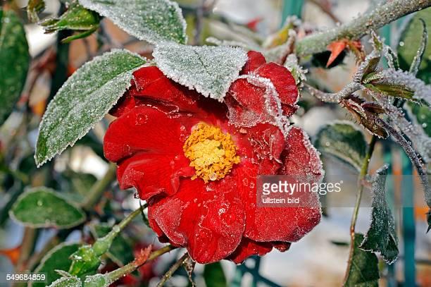 Rote Rose reifbedeckt im Spätherbst