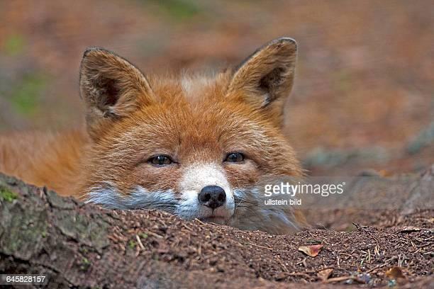 Rotfuchs | Red Fox Vulpes vulpes Schweden ruhend hinter einer Baumwurzel
