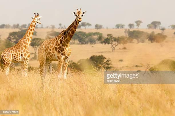 のロスチャイルドキリンサヴァナ - ウガンダ ストックフォトと画像