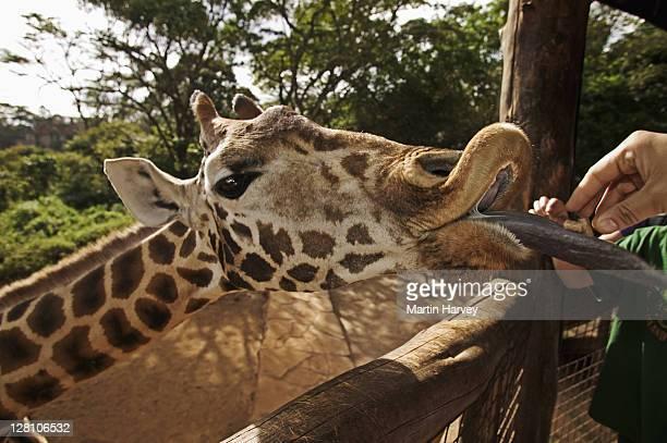 Rothschild Giraffe (Giraffa camelopardalis rothschildi) being fed by guide George Njagi, at the center. Giraffe Centre Nairobi Kenya. Dist. East Africa
