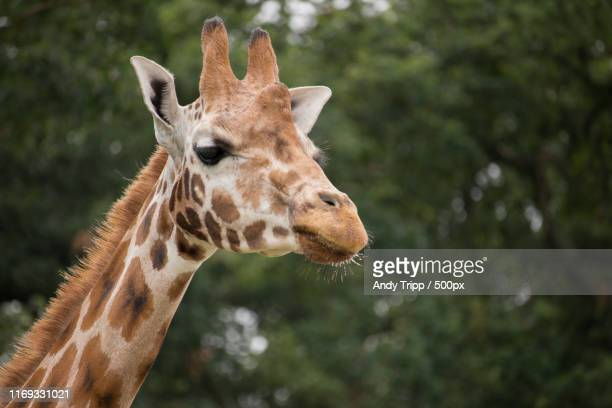 rothschild giraffe - safari stock pictures, royalty-free photos & images