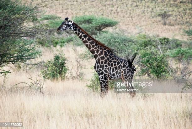 rothschild giraffe (giraffa rothschildi), samburu national park, kenya - vista lateral stock pictures, royalty-free photos & images