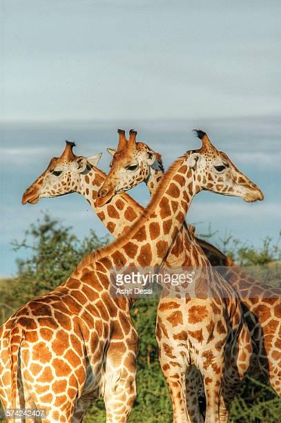 Rothschild Giraffes of Uganda