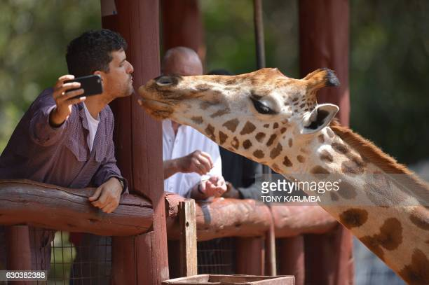 A Rothschild subspecies giraffe is fed by a visitor at its habitat at Nairobi's giraffe conservation centre 'The Giraffe Centre' on December 21 2016...