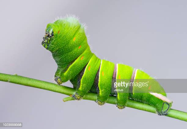 rothschildia lebeau inca – rothschild's silkmoth caterpillar - hairy bush stock pictures, royalty-free photos & images