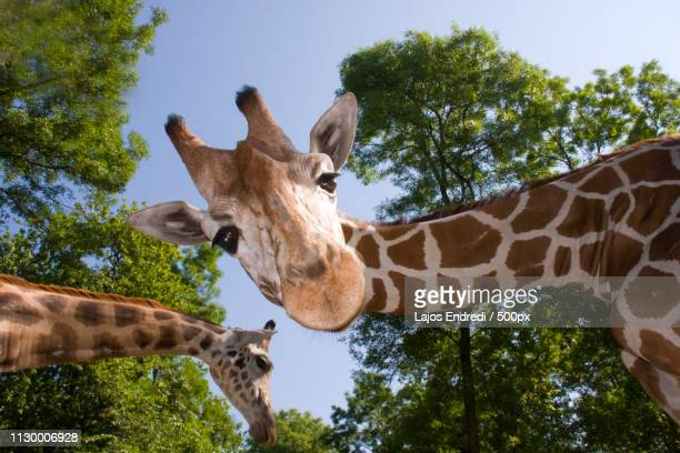 rothschilds giraffe(giraffa camelopardalis rothschildi) looking at camera - wilde tiere stock-fotos und bilder