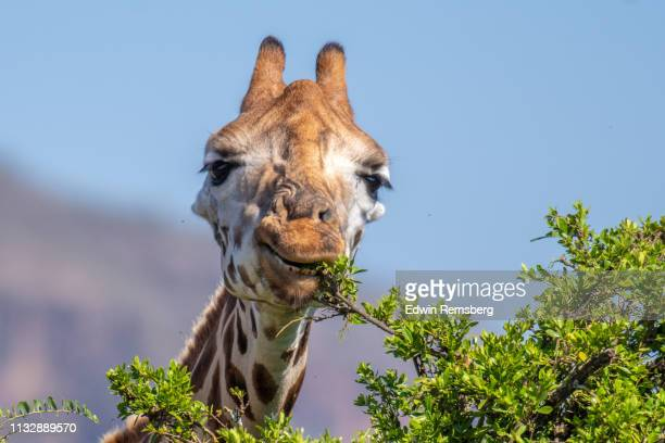 rothschild's giraffe nibble - long neck animals stock pictures, royalty-free photos & images