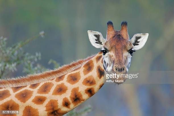 rothschilds giraffe - giraffe stock pictures, royalty-free photos & images