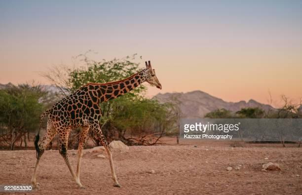 Rothschild's giraffe walking