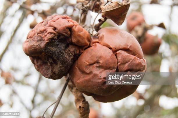 Rotten Apples On Branch