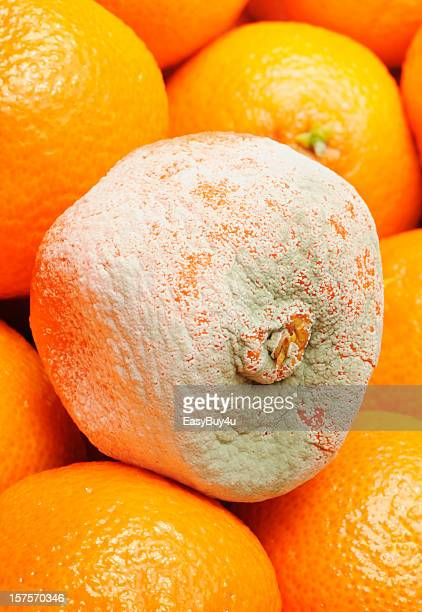 rotten fruit - mildew stock photos and pictures