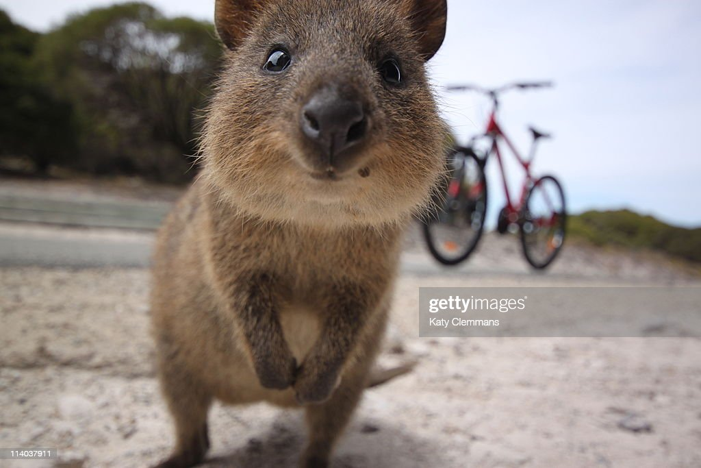 What in the Quokka?