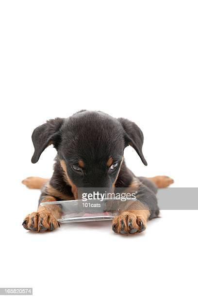 rottweiler - feet lick stock pictures, royalty-free photos & images