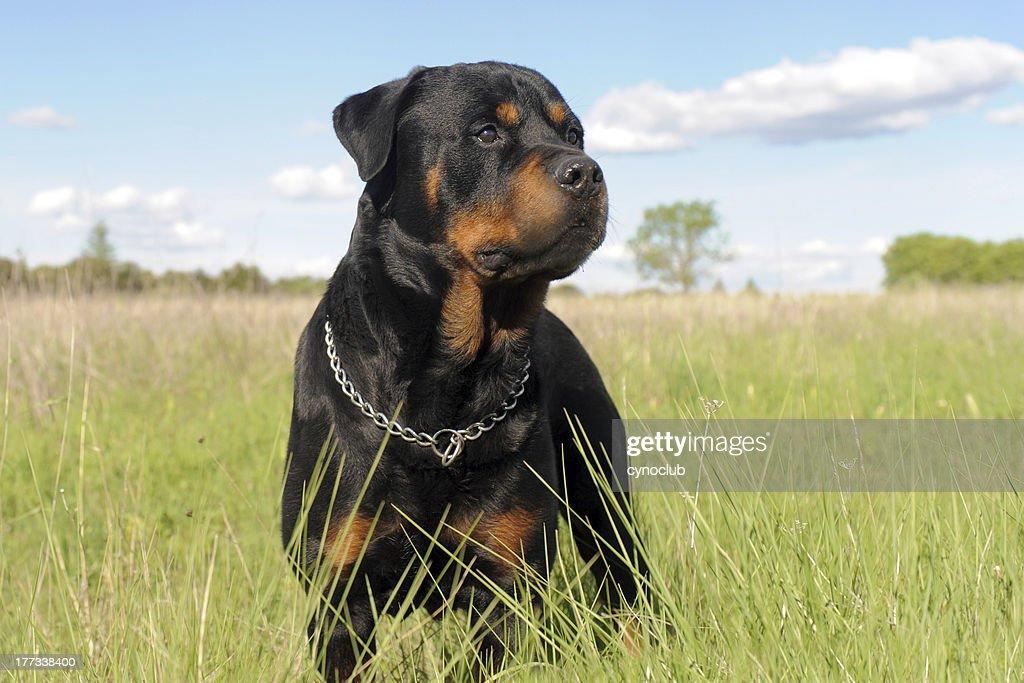 rottweiler : Stock Photo