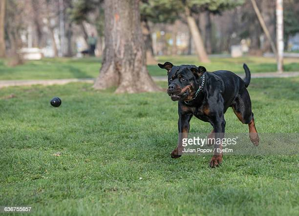 Rottweiler Playing With Ball In Park