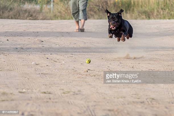 Rottweiler Playing With Ball On Field
