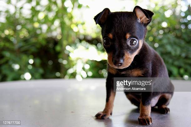rottweiler puppies - rottweiler stock photos and pictures