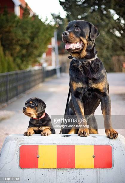 Rottweiler puppy beside an adult rottweiler