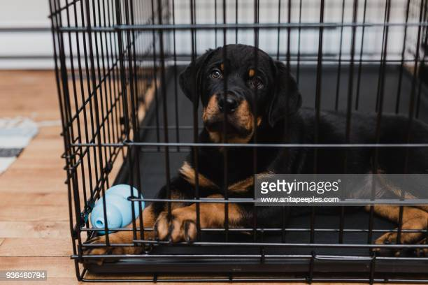 rottweiler puppy inside his crate - crate stock pictures, royalty-free photos & images