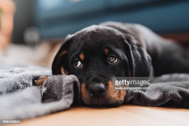 rottweiler puppy lying on blanket inside home - rottweiler stock photos and pictures